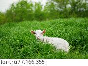Купить «Коза на зеленой траве», фото № 7166355, снято 9 мая 2011 г. (c) Игорь Струков / Фотобанк Лори