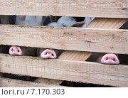 Купить «Поросячьи пятаки из-за забора», фото № 7170303, снято 5 января 2015 г. (c) Дмитрий Шкурин / Фотобанк Лори