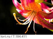 Красная лилия, фон. Стоковое фото, фотограф Илья Алексеев / Фотобанк Лори