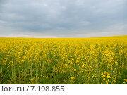Купить «Жёлтое рапсовое поле», эксклюзивное фото № 7198855, снято 15 октября 2018 г. (c) Svet / Фотобанк Лори