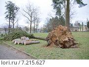 Упавшее дерево от сильного ветра. Стоковое фото, фотограф Светлана Самаркина / Фотобанк Лори