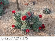 Цветение кактуса красными цветками. Стоковое фото, фотограф Олеся Ефименко / Фотобанк Лори