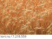 Колосья ржи в поле. Стоковое фото, фотограф Сергей Боженов / Фотобанк Лори