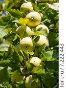 Купить «Спелые яблоки на ветке», фото № 7222443, снято 3 сентября 2014 г. (c) Юлия Бабкина / Фотобанк Лори