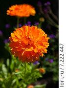 Купить «Цветы календулы», фото № 7222447, снято 3 сентября 2014 г. (c) Юлия Бабкина / Фотобанк Лори