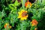 Бабочка на цветке календулы, фото № 7226059, снято 22 июля 2017 г. (c) Зезелина Марина / Фотобанк Лори