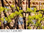Купить «Весенние цветущие ветви дерева солнечным днем», фото № 7234487, снято 26 апреля 2014 г. (c) Дарья Белозерова / Фотобанк Лори