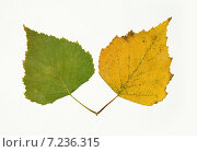 Купить «Зелёный и жёлтый берёзовые листья», фото № 7236315, снято 16 декабря 2014 г. (c) Нина Карымова / Фотобанк Лори
