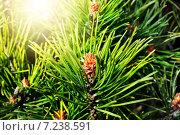 Купить «Сосна горная (лат. Pinus mugo). Хвоя и почки крупным планом в контровом свете», фото № 7238591, снято 4 апреля 2015 г. (c) Сергей Трофименко / Фотобанк Лори