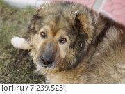 Кавказская овчарка лежит на земле. Стоковое фото, фотограф Екатерина Асатурова / Фотобанк Лори
