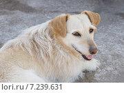 Небольшая бежевая собака с высунутым языком лежит на земле. Стоковое фото, фотограф Екатерина Асатурова / Фотобанк Лори