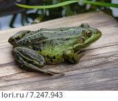 Купить «Большая зеленая лягушка сидит на досках», фото № 7247943, снято 8 июня 2009 г. (c) Светогор Александр Романович / Фотобанк Лори