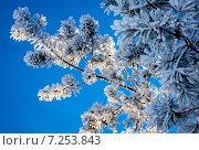 Снежная ветвь. Стоковое фото, фотограф Игорь Леонов / Фотобанк Лори
