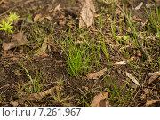 Первая весенняя трава. Стоковое фото, фотограф Андрей Губецков / Фотобанк Лори