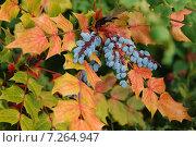 Магония падуболистная (Mahonia aquifolium) Стоковое фото, фотограф Олеся Ефименко / Фотобанк Лори