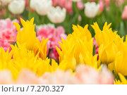 Жёлтые тюльпаны на клумбе. Стоковое фото, фотограф Ирина Буракова / Фотобанк Лори