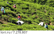 Купить «Женщины собирают чайные листья в Нувара-Элия. Шри-Ланка», видеоролик № 7278807, снято 9 апреля 2015 г. (c) Михаил Коханчиков / Фотобанк Лори