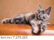 Купить «Котенок породы мейн-кун», фото № 7279263, снято 5 августа 2014 г. (c) Gagara / Фотобанк Лори