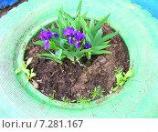 Купить «Оформление клумбы - декоративный цветы ирисы в автомобильной покрышке», эксклюзивное фото № 7281167, снято 8 мая 2009 г. (c) lana1501 / Фотобанк Лори