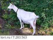 Купить «Белая коза пасется в лесу», эксклюзивное фото № 7283563, снято 25 июля 2014 г. (c) Елена Коромыслова / Фотобанк Лори