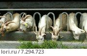 Купить «Белые козы едят траву на ферме», видеоролик № 7294723, снято 19 апреля 2015 г. (c) Михаил Коханчиков / Фотобанк Лори