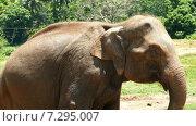 Слон на Шри-Ланке (2015 год). Стоковое видео, видеограф Михаил Коханчиков / Фотобанк Лори