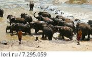 Слоны на территории приюта, Шри-Ланка (2015 год). Стоковое видео, видеограф Михаил Коханчиков / Фотобанк Лори