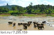 Слоны на водопое, Шри-Ланка (2015 год). Стоковое видео, видеограф Михаил Коханчиков / Фотобанк Лори