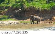 Слоны у реки, Шри-Ланка (2015 год). Стоковое видео, видеограф Михаил Коханчиков / Фотобанк Лори