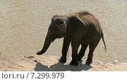 Слон на берегу реки (2015 год). Стоковое видео, видеограф Михаил Коханчиков / Фотобанк Лори