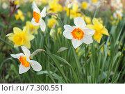Купить «Нарциссы крупнокорончатые Джентл Джайнт (Narcissus Gentle Giant) на фоне желтых нарциссов, весенний сад», эксклюзивное фото № 7300551, снято 17 апреля 2015 г. (c) Ирина Водяник / Фотобанк Лори