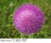 Цветок чертополоха. Стоковое фото, фотограф Надежда Тимахова / Фотобанк Лори