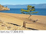 Купить «Байкал. Сарайский залив. Жизненная сила байкальской лиственницы», фото № 7304915, снято 22 августа 2010 г. (c) Виктория Катьянова / Фотобанк Лори