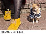 Собака породы Чихуахуа в одежде сидит около ног хозяина. Стоковое фото, фотограф Мячикова Наталья / Фотобанк Лори