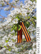 Цветы груши с георгиевской лентой. Стоковое фото, фотограф Александра Полупанова / Фотобанк Лори