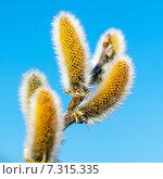 Ива козья (Salix caprea L.). Цветы крупно. Стоковое фото, фотограф Евгений Мухортов / Фотобанк Лори