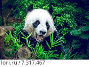 Купить «Giant panda», фото № 7317467, снято 21 марта 2014 г. (c) Goinyk Volodymyr / Фотобанк Лори
