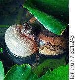 Жаба в пруду. Стоковое фото, фотограф Виктор Застольский / Фотобанк Лори