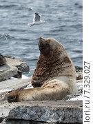 Купить «Морской лев Стеллера, или сивуч. Камчатка, Авачинская бухта», фото № 7329027, снято 2 апреля 2015 г. (c) А. А. Пирагис / Фотобанк Лори