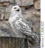 Белая сова или полярная сова (Bubo scandiacus, Nyctea scandiaca) Стоковое фото, фотограф Валерия Попова / Фотобанк Лори