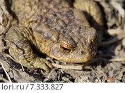 Купить «Обыкновенная серая жаба (лат. Bufo bufo)», эксклюзивное фото № 7333827, снято 28 апреля 2015 г. (c) Елена Коромыслова / Фотобанк Лори