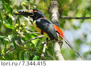 Купить «Collared Aracari (Pteroglossus torquatus) toucan, a near-passerine bird which breeds from southern Mexico to Panama, also Ecuador, Colombia and Venezuela.Collared Aracari (Pteroglossus torquatus) toucan, a near-passerine bird», фото № 7344415, снято 22 февраля 2020 г. (c) BE&W Photo / Фотобанк Лори