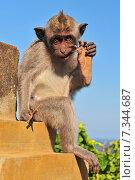 Купить «Monkey (Macaca fascicularis) near Pura Ulawatu temple. Ubud, Bali Indonesia.», фото № 7344687, снято 20 июня 2019 г. (c) BE&W Photo / Фотобанк Лори