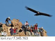 Купить «peru - the andean condor (vultur gryphus) in colca canyonPeru, Arequipa, Colca Canyon, Andean Condor, Vultur gryphus», фото № 7345763, снято 14 декабря 2019 г. (c) BE&W Photo / Фотобанк Лори