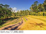 Купить «Terrace rice fields, Bali, Indonesia», фото № 7346683, снято 17 декабря 2018 г. (c) BE&W Photo / Фотобанк Лори