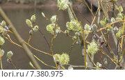 Купить «Весна. Верба на фон воды», видеоролик № 7380975, снято 4 мая 2015 г. (c) Звездочка ясная / Фотобанк Лори