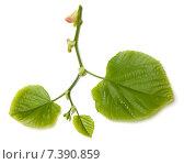 Купить «Зеленые листья липы на белом фоне», фото № 7390859, снято 29 апреля 2015 г. (c) Анна Полторацкая / Фотобанк Лори