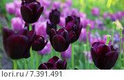 Купить «Фиолетовые тюльпаны на клумбе крупным планом», видеоролик № 7391491, снято 4 мая 2015 г. (c) Мальцев Артур / Фотобанк Лори