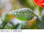 Купить «close up of rose flower», фото № 7398627, снято 3 марта 2015 г. (c) Syda Productions / Фотобанк Лори