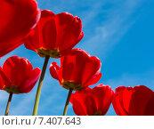 Красные раскрывшиеся тюльпаны на фоне синего неба в солнечный весенний день. Стоковое фото, фотограф E. O. / Фотобанк Лори
